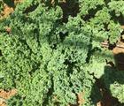 Các chủ vườn cho biết, ngày nào họ cũng được hái lá rau cải này bán cho đến khi cây già, năng suất t