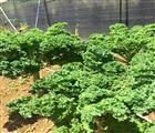 Lá của loại rau cải này đang được các bà nội trợ săn mua về ăn với giá từ 70.000-80.000 đồng/kg