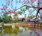Hoa mai anh đào tôn thêm vẻ đẹp cho Đà Lạt.