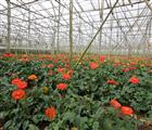Làng hoa Vạn Thành là một trong sáu làng hoa truyền thống của thành phố, nơi trồng hoa hồng nhiều nh