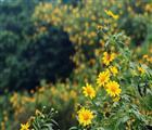 Sự hòa quyện hoàn hảo giữa nét kiêu sa và sự hoang dại của hoa dã quỳ. Ảnh: Internet.