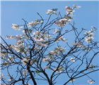 Sắc màu hoa ban - Ảnh : Ngọc Minh