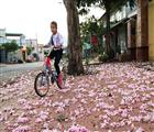 Xác hoa Hồng phấn trên hè phố
