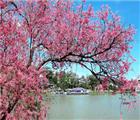 Loài hoa đào nổi tiếng trên xứ hoa Đà Lạt