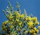 Mimosa – loài hoa đặc trưng của Đà Lạt