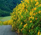 Mùa hoa dã quỳ Đà Lạt nổi bật với sắc vàng bao phủ khắp con đường. Ảnh: Internet.